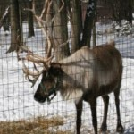WATF Another good reindeer pic